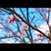 桜が主人公