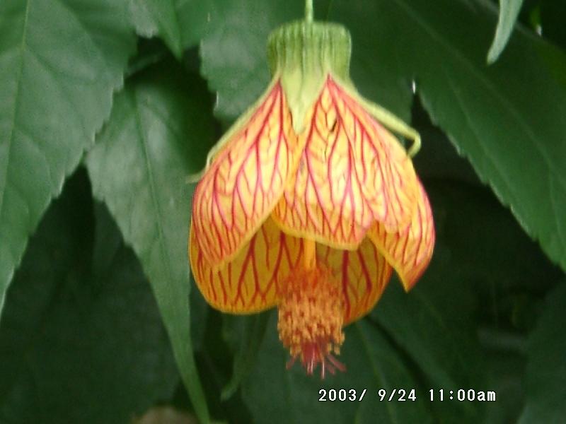 台湾阿里山に咲いてた花