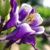 オダマキ紫17