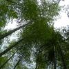 林立する孟宗竹