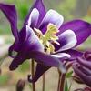 オダマキ紫06