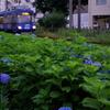 世田谷線に咲く