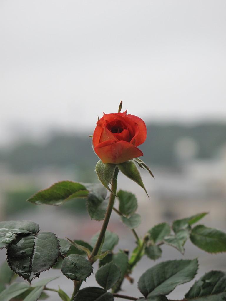 ベランダに咲いたミニバラ
