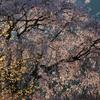 湯の山 しだれ桜②