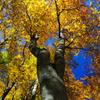大山ブナ林の紅葉