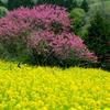 菊桃と菜の花
