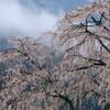 湯の山 しだれ桜③