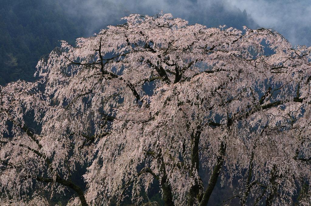 湯の山 枝垂桜