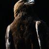 イヌワシの肖像