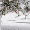 雪のさざんか
