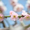 春の日の梅