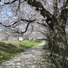 桜のトンネル!