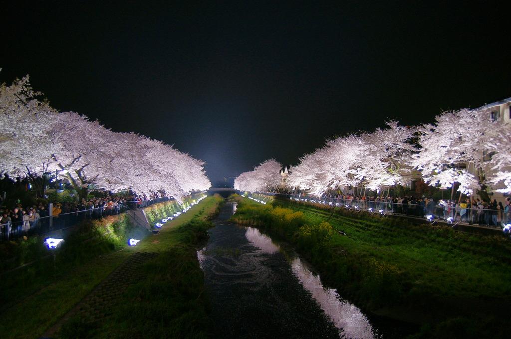 野川の夜桜