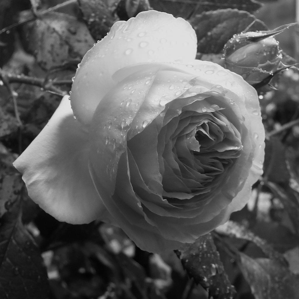 濡れるバラ