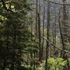 上高地・ウグイスの鳴く森