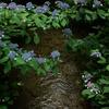 上賀茂神社 紫陽花