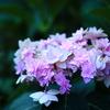 紫陽花(ユーミーロマンス)