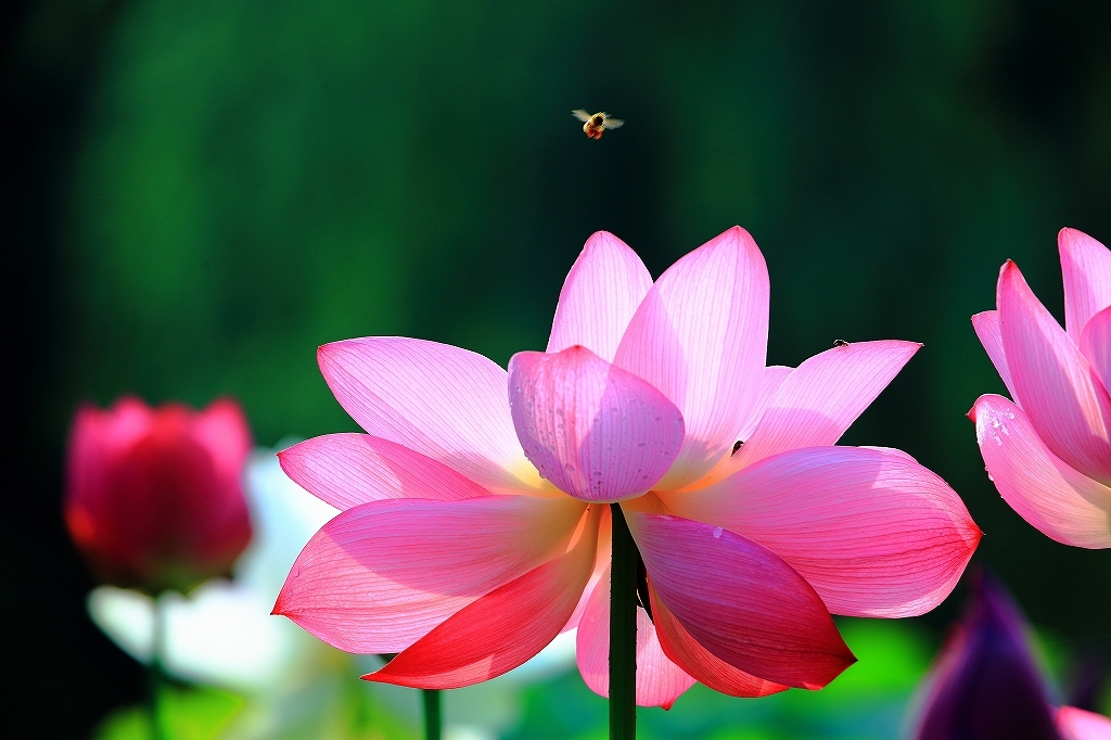 ハスとミツバチ