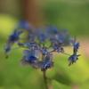 八重咲きの山紫陽花