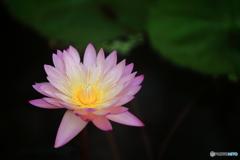熱帯スイレン・ピンク