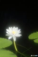 熱帯スイレン・白
