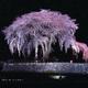 水戸野枝垂れ桜