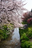 隼人堀川の春