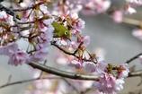 早咲きの桜に包まれて。