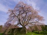 細枝に咲き溢つ 枝垂れ桜