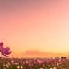 目覚めの朝の 秋桜色。。。