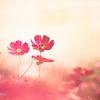 甘い秋桜に♡誘われて