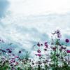 青空に…しゃぼんと秋桜•*¨*•.¸¸♬