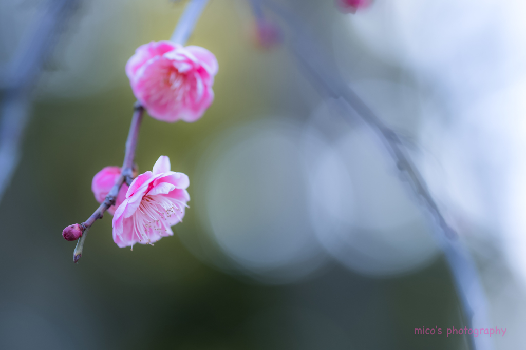 枝垂れ梅に魅せられて... no.♡