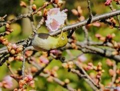 春メジロ58