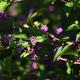 紫粒の輝き