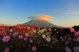 コスモスに彩られる蝦夷富士