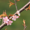 河津桜が綺麗1