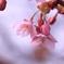 愛想良し河津桜開花