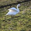 綺麗な白鳥