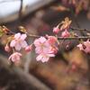 河津桜が綺麗2