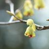 春色の・・とさみずき