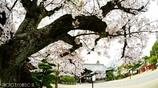 和と桜 <4>