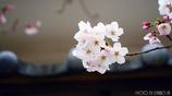 和と桜 <2>