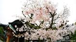 和と桜 <3>