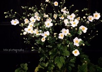 NIKON NIKON D5300で撮影した(『Japanese anemone』)の写真(画像)