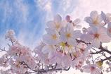 『桜色舞うころ』⑤