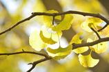 イチョウの葉透過光