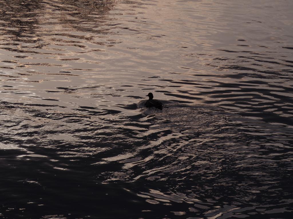 鸭、夕暮れを行くの写真(画像) 写真ID:543795