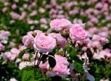 桃薔薇の絨毯 @花フェスタ