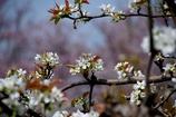 安城梨の花 バックは散り初め桜 #1